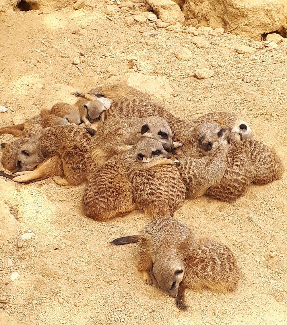 schlafende Erdmännchen im Zoo Linz