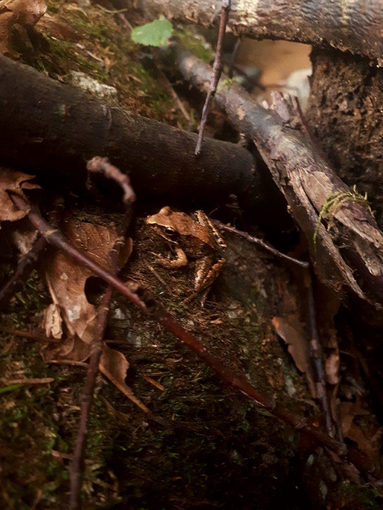 Frosch im Wald im Aisttal